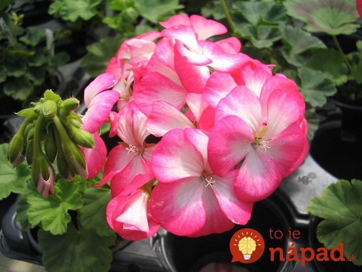 Muškáty patria k najobľúbenejším kvetom, len ťažko by sme hľadali dom, ktorý ich nemá vystavené v oknách. Pestovateľka sa podelila o trik, ktorý v starostlivosti o muškáty používa už celé roky.