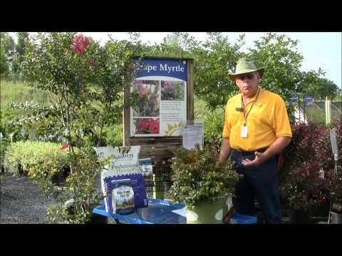 Learn how to care for crape myrtles with Stauffers of Kissel Hill Garden Centers expert Pat in this new video! He shares how to plant, how to fertilize the soil and when & where to plant crape myrtle.  Learn more about us at www.skh.com.
