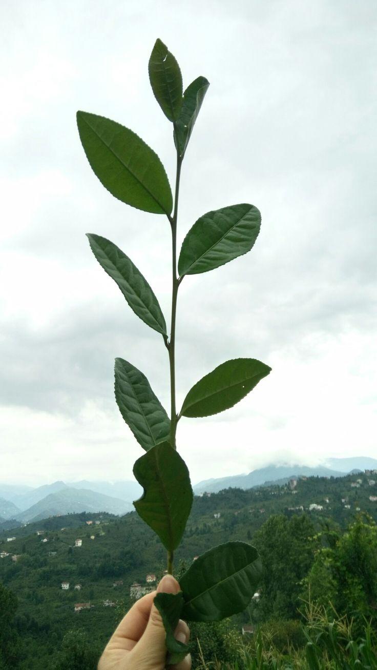 #çay #Trabzon #Araklı