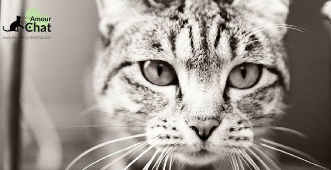 La leucose féline (FeLV), une maladie virale redoutable pour le chat