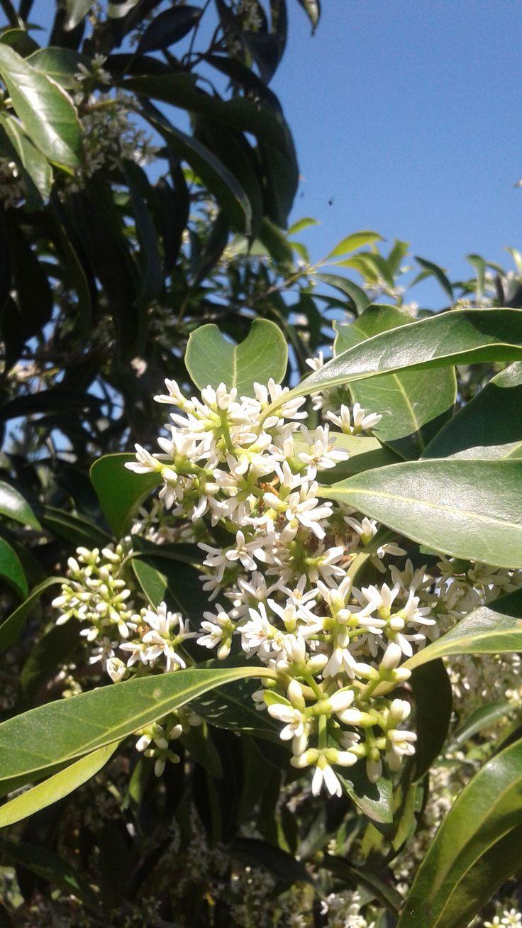 Chionanthus peglerae -  Giant Pock Ironwood /Bastard Black Ironwood / White Pock Ironwood (Fringe Trees)
