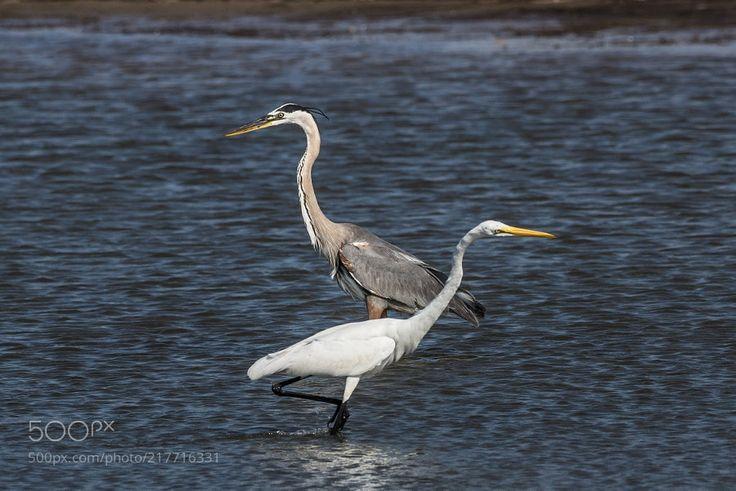 Сriss Сross - Great egret and great blue heron fishing in the same spot.  Большая белая цапля и большая голубая цапля занимаются рыбалкой в одном и том же месте.  Garceta grande y garza azulada pescando en el mismo lugar.