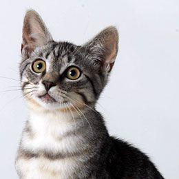 Comment détecter les allergies alimentaires de mon chat ?