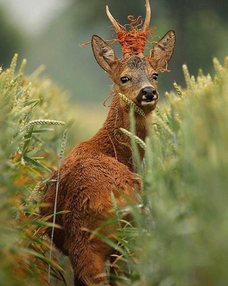 Encordé ✂️ #chevreuil #instachasse #hunting #hunt #jagd #caza #reh #huntinglife #jakt #huntingday #instahunt #råbock #caccia #roedeer #capriolo #jagt #rådjur #roebuck #rådyr #härkila #antlers #corzo #sako #chevrette #battue http://misstagram.com/ipost/1563937585271878514/?code=BW0OPKdAzNy