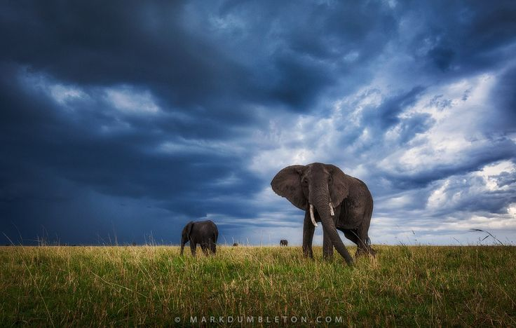 Storms approach the wide open grassy plains of the Masai Mara, engulfing the landscape with dramatic skies, dwarfing the massive Elephant cow and calf.Masai Mara National Reserve, Kenya.Website | Prints | Facebook | Skype Processing TuitionPhotograph protected by international copyright laws, all rights reserved.