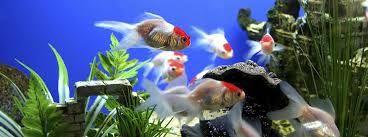 Kuvahaun tulos haulle akvaariokalat
