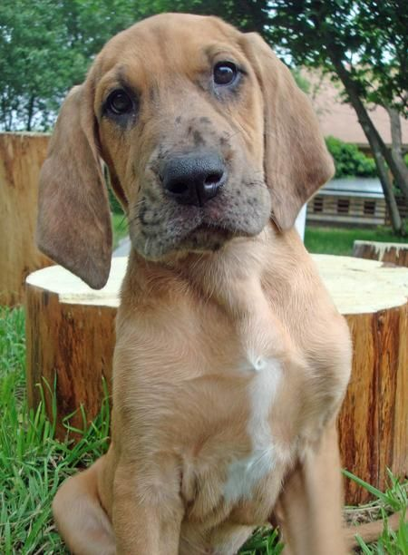 Etta the Great Dane Mix | Puppies | Daily Puppy