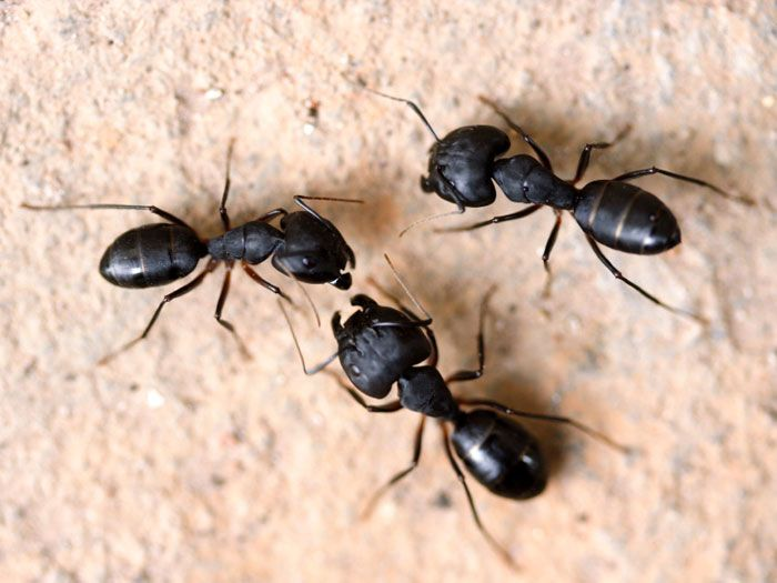 Fastest way to kill bed bugs  big ants in house in winter. 42 best Black Bugs for LAYAL KHATEEB images on Pinterest   Bugs