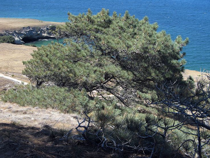 Image result for torrey pine tree