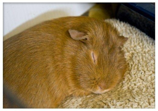 how to make guinea pig fleece hut