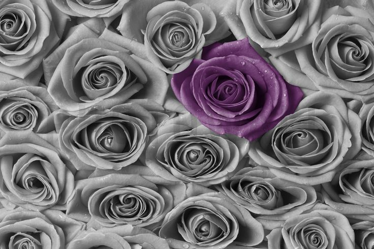 Roses - Purple and Grey - Fototapeter & Tapeter - Photowall