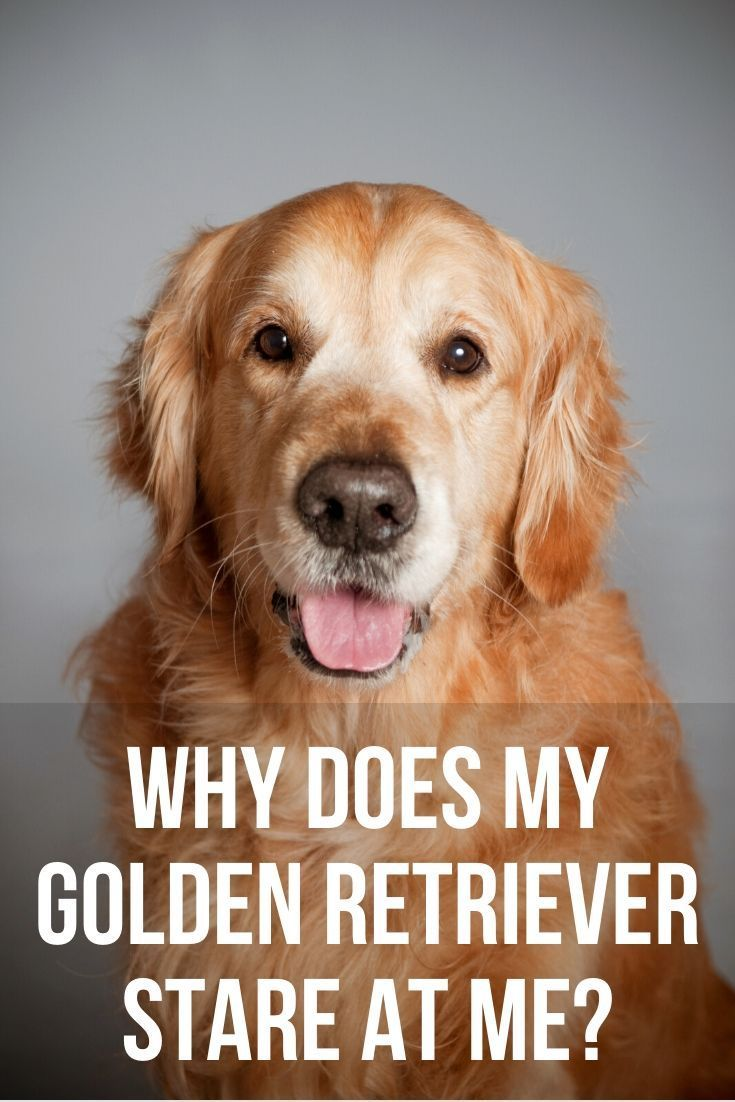Why Does My Golden Retriever Stare At Me In 2020 Golden