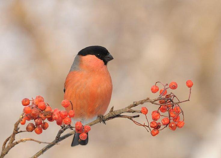 Pássaros que enfeitam nossas vidas: DOM-FAFE