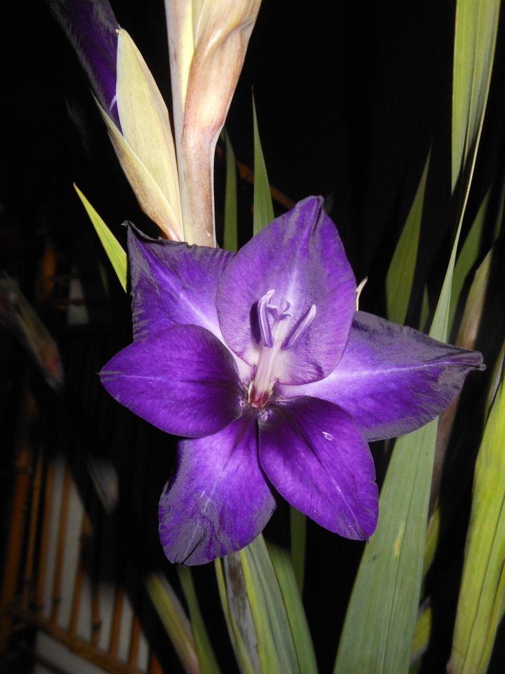 paarse gladiool