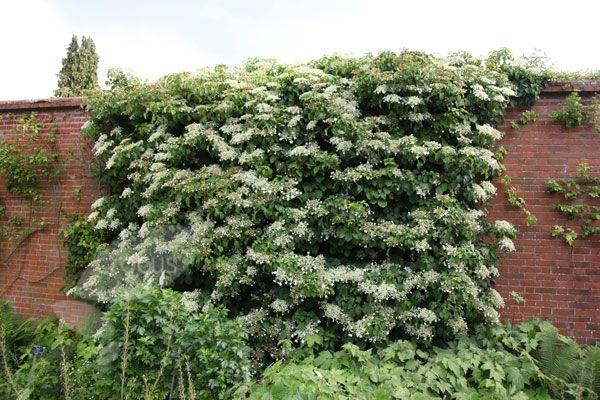 climbing hydrangea in winter   Buy climbing hydrangea Hydrangea anomala subsp. 'petiolaris': Delivery ...