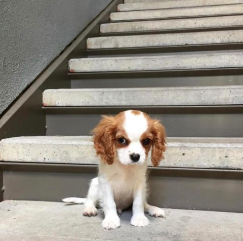 8 FACTS EVERY CAVALIER KING CHARLES LOVER NEEDS TO KNOW – CavLife