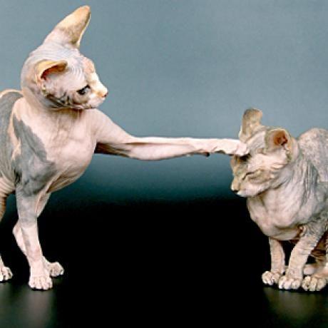 Top Hypoallergenic Cat Breeds for People with Allergies: Balinese, Oriental Shorthair, Javanese, Devon Rex, Cornish Rex, Sphinx, Siberian