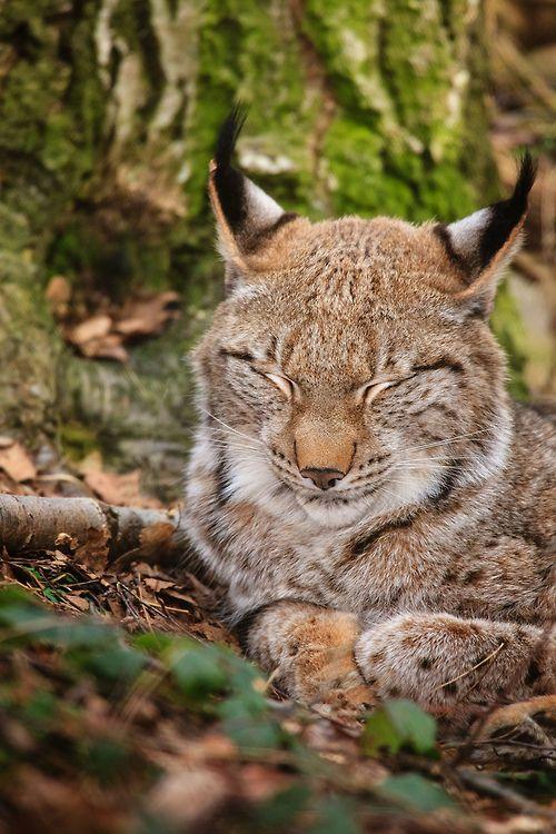 Lynx  (by Naturfotografie - Stefan Betz)