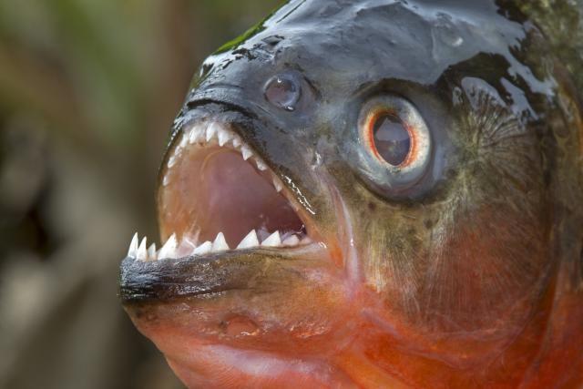 How To Make and Use Chemical Piranha Solution: Like the toothy piranha fish, chemical piranha eats away organics.