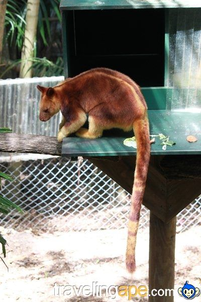 Tree kangaroo @ Currumbin Wildlife Sanctuary, Gold Coast, Australia.