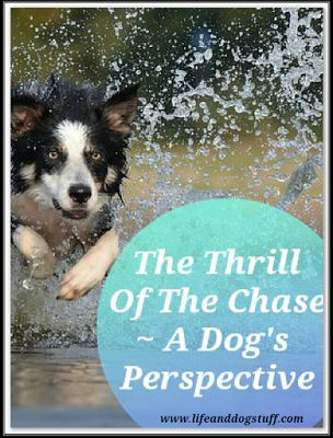 The Thrill Of The Chase - A Dog's Perspective at Life and Dog stuff blog!