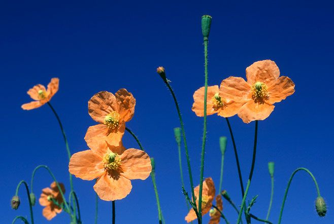 The only indigenous South African poppy, Papaver aculeatum, flowering in summer near Rhodes in the Eastern Cape, South Africa.