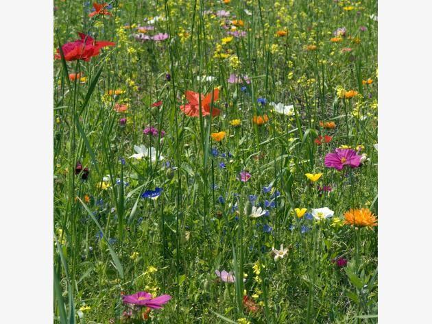 bunte Wildblumen auf einer Wiese