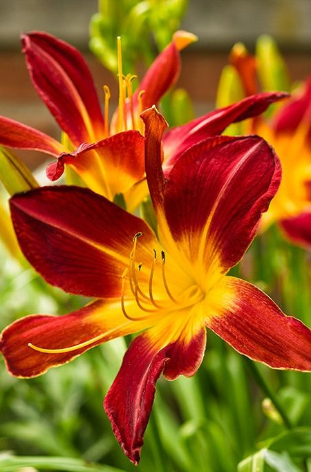 Rainbow Rhythm® Ruby Spider - Daylily - Hemerocallis ...