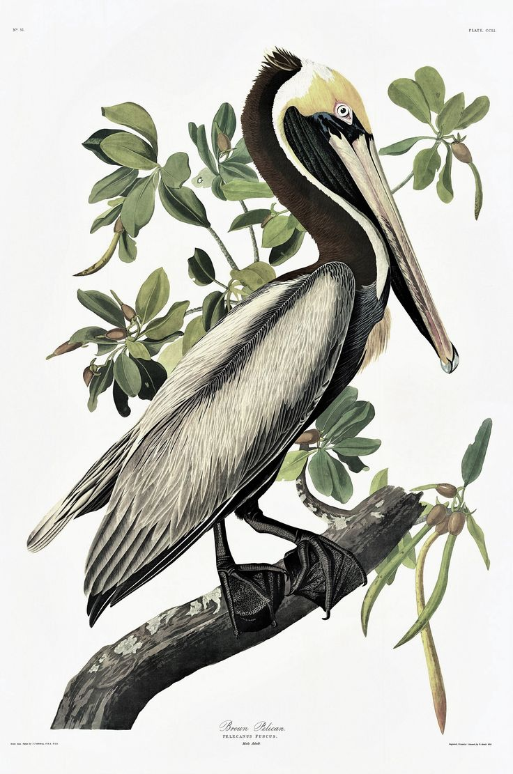 Audubon proof print - Brown Pelican