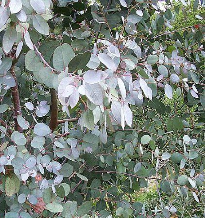 Garden House Eucalyptus archeri x 2 xlarge plugs, 'Alpine Cider Gum' - Australian Hardy Tree / coppice as an parking lot borders bags evergreen shrub or hedge, Salt ...