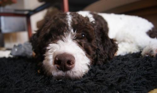 Our lovely Spanish waterdog(perro de agua espanol) Gomez,...