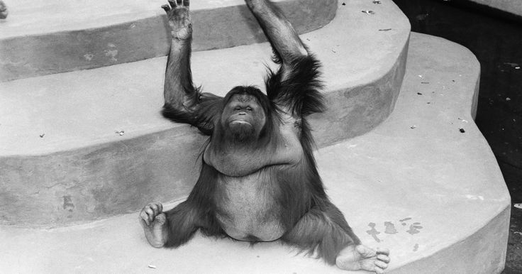 Como fazer uma máscara de macaco para crianças. Macacos são criaturas que fascinam tanto crianças quanto adultos. Eles têm uma aparência parecida com a dos seres humanos, e compartilham algumas das mesmas características. Por causa de suas semelhanças, muitas crianças gostam de imitá-los. Uma máscara de macaco é uma arte que pode ser feita em casa, com o intuito de criar uma fantasia para um ...