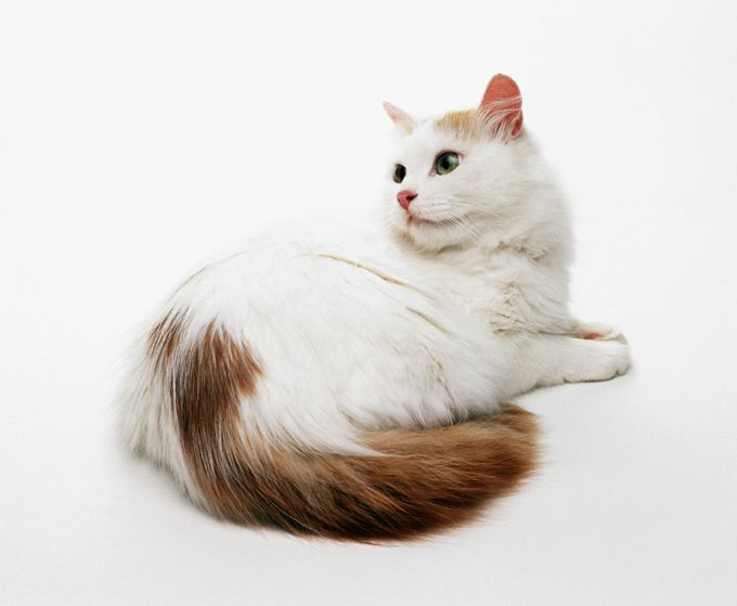 Turkish Van Cats And Kittens                                                                                                                                                                                 More