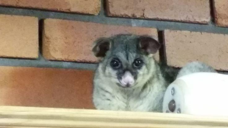 Possum in my garage