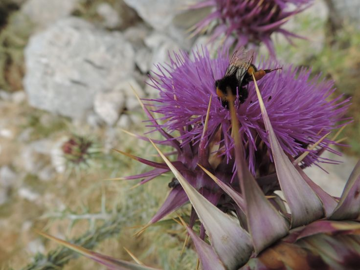 A happy bee on a high plateau gathering pollen from the thistles.