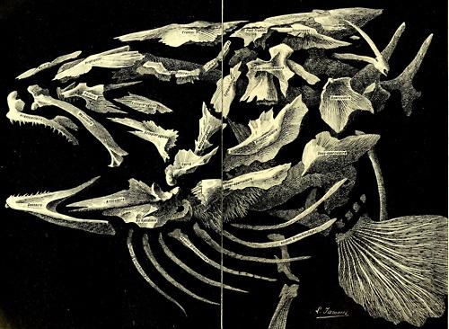 Electric Eel Skeleton | www.imgkid.com - The Image Kid Has It!