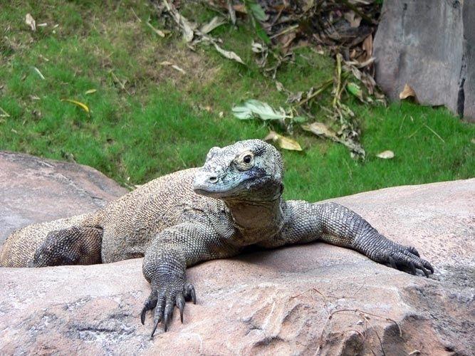 O dragão de Komodo tem uma língua bifurcada da qual escorre uma baba mortífera e dentes pontiagudos e serrilhados. É um lagarto enorme que vive nas ilhas indonésias e tem um olfato apuradíssimo que usa principalmente para farejar suas presas em potencial.  Fotografia: GNU.