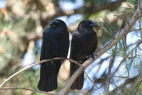Next crow fact? They mate for life. And though they meet sexual maturity by age two, a lot of them don't reproduce until later than that. They're just waiting to meet that special someone, y'know?