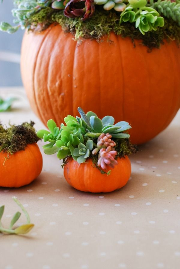 Pumpkins that weren't ready to harvest by Halloween or Thanksgiving can bring colorful cheer to a winter home.  These are adorned with an array of succulent plants commonly found in Las Vegas gardens.  Many succulents need protection on cold winter nights... Bringing them indoors and pairing them with pumpkins solves this problem!