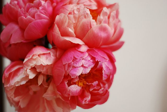 The Flower, Love Fall, Beautiful, Gardens, So Pretty, Rich Colors, Wedding Flower, Pink Peonies, Coral Flower