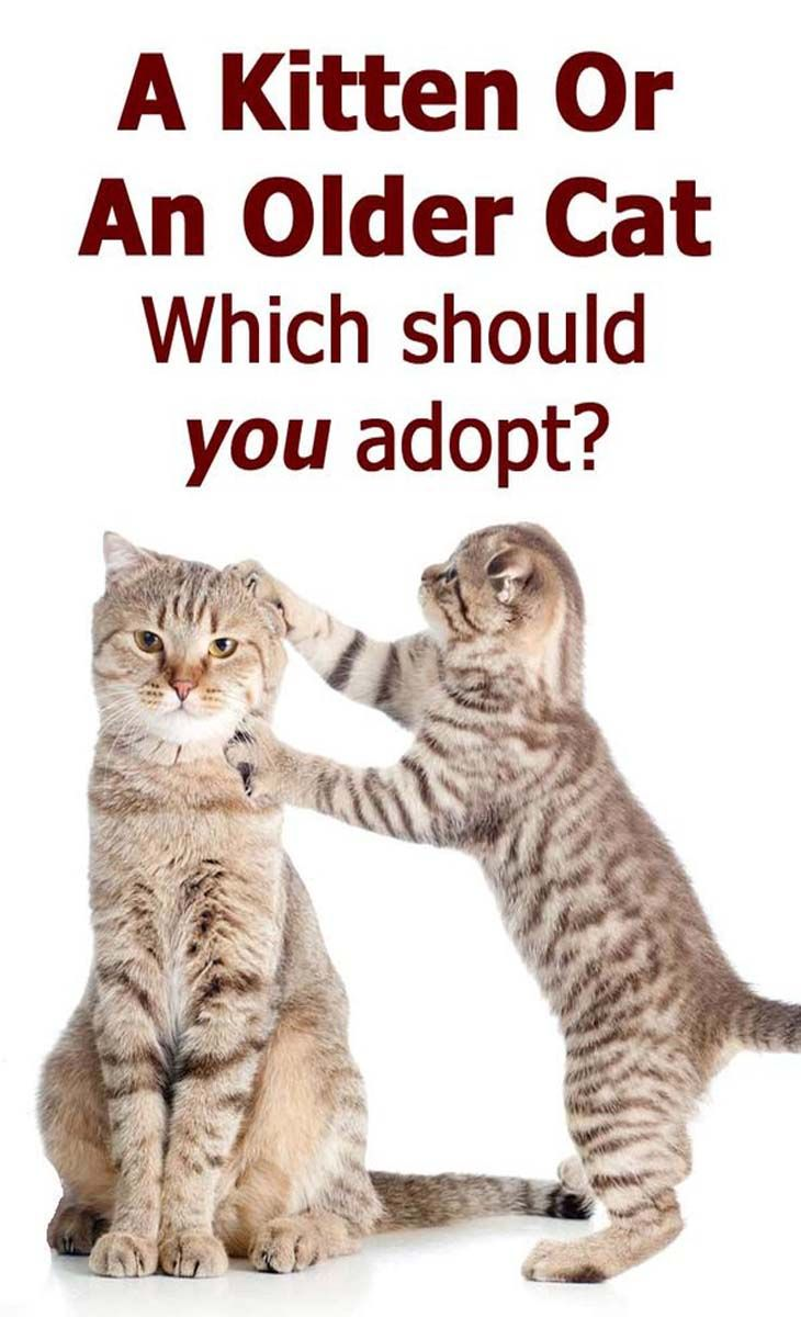 A Kitten Or An Older Cat Which Should You Adopt Cat Guides Older Cats Cats Cat Adoption