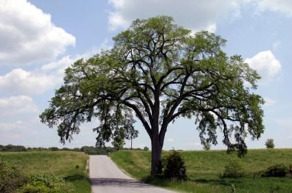Elm Tree The American Elm was once one of America s most dominant trees Located in the Picturesque North Cambridgeshire Village of Elm PREDICTABLE