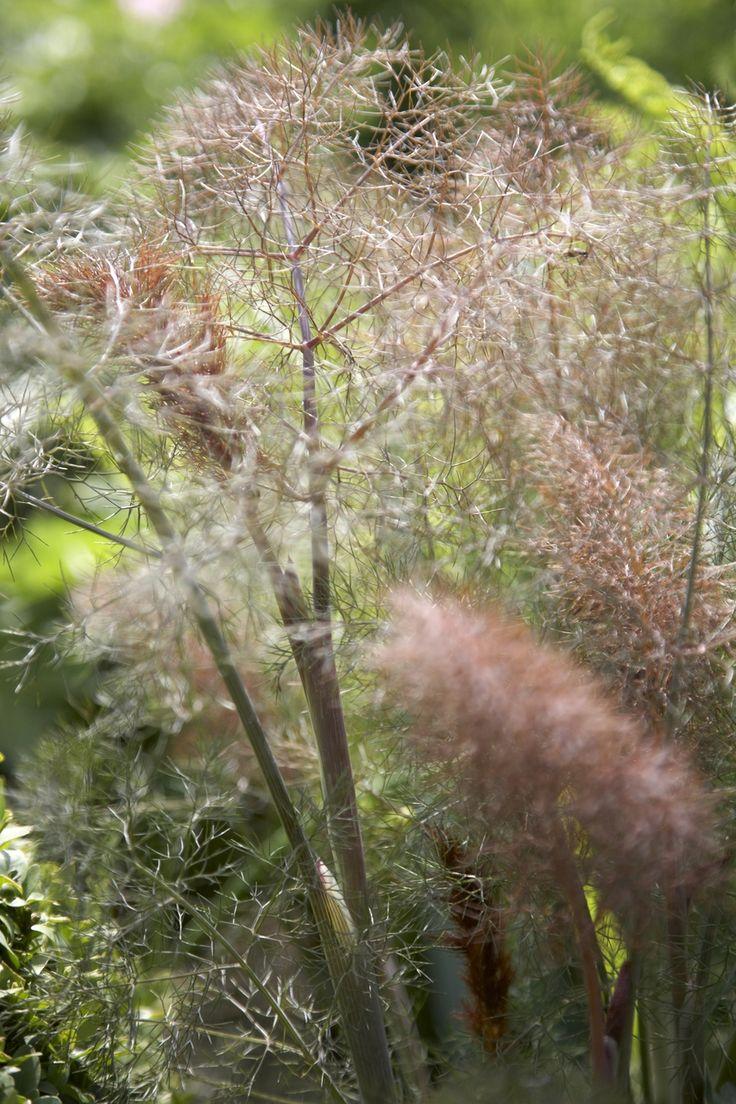 Fenchel 'Purpureum'