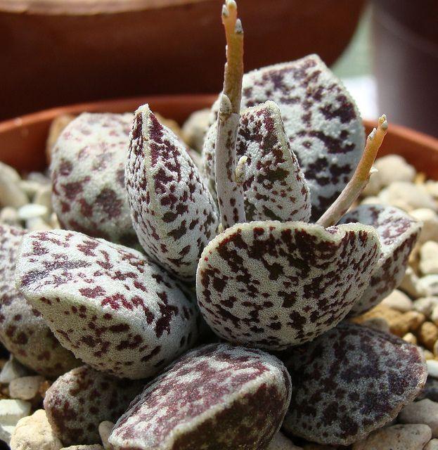 Adromischus marianiae 'Bryan Makin'. Ex. Agroideas | Flickr #succulent