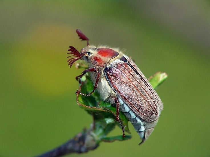Хрущ, майский жук