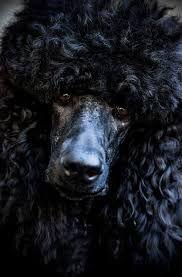 handsome poodle -