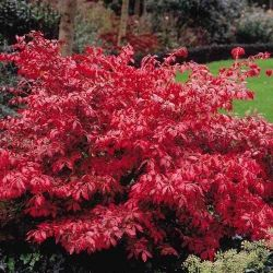 Euonymus alatus is a lovely deciduous dense and bushy shrub that will grow up to 2.5m in 5 years. It's a spectacular sight in autumn when it's foliage turns cerise pink to fiery red (hence the name Burning Bush). They produce lovely reddish-purple winged seed pods and do well in alkaline soils! Front yard - covering front porch underside?