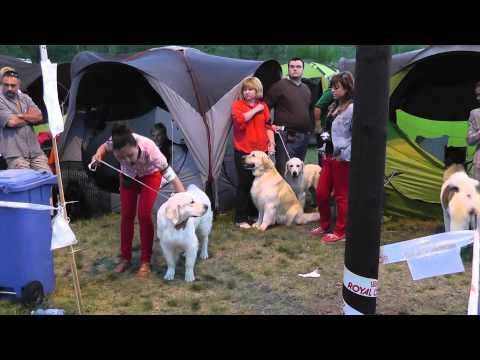 Miskolc Marathon Dog Show 2013.04.27. Golden retrieverek a ring-en kívül.