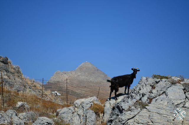 Schinaria Beach, goat #crete #passionforgreece