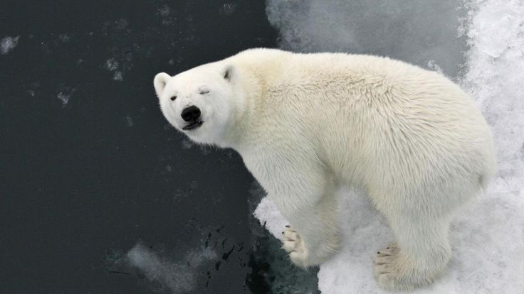 FUNNY FACE POLAR BEAR (IJsbeer)